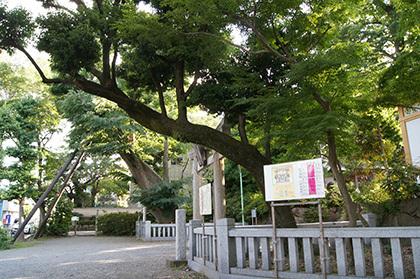 170603青渭神社の欅⑧