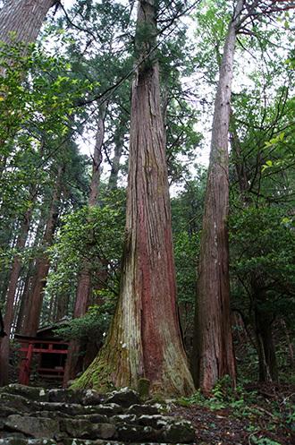 170606南川八坂神社の杉①