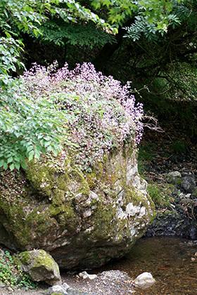 170606南川八坂神社の杉⑤