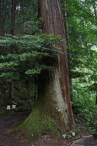 170606南川八坂神社の杉⑩