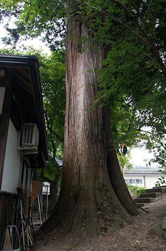 170621恵隆寺のヒノキ①