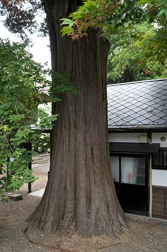 170621恵隆寺のヒノキ②