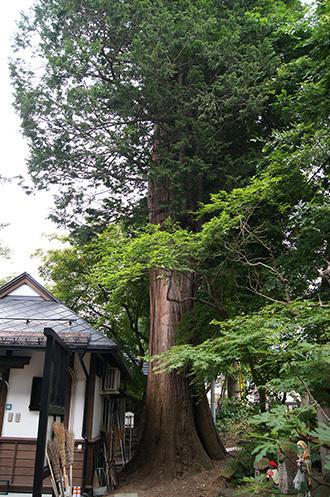170621恵隆寺のヒノキ③