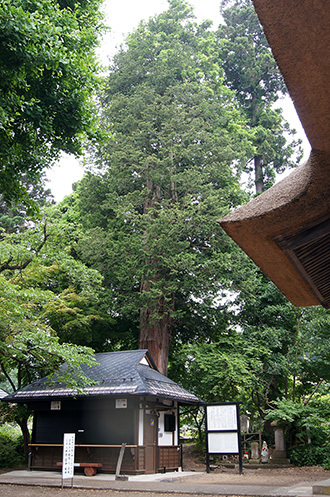 170621恵隆寺のヒノキ④