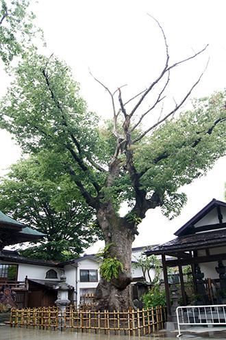 170621実成寺のケヤキ①