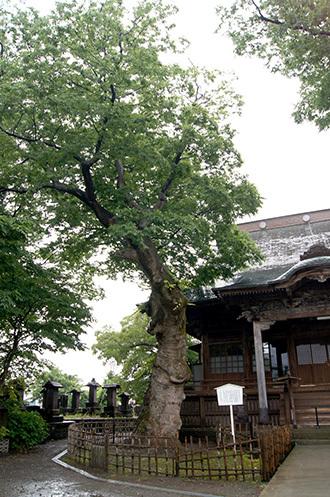 170621実成寺のケヤキ④