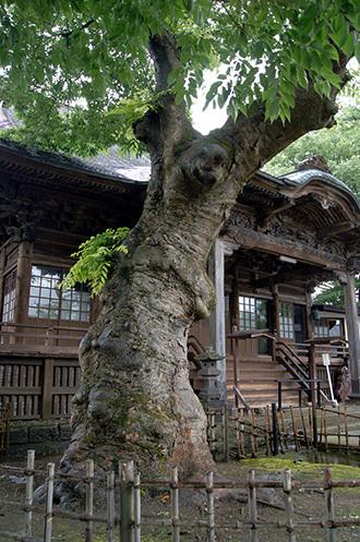 170621実成寺のケヤキ⑤