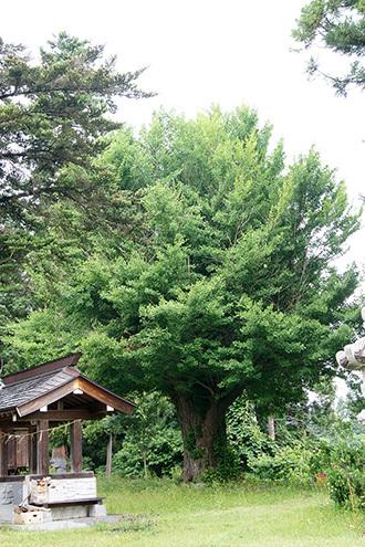 170621山都町木曾のイチョウ