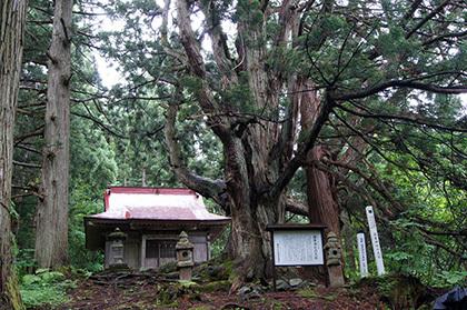 170621温泉神社の大杉①