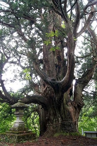 170621温泉神社の大杉③
