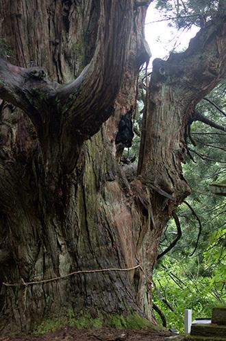 170621温泉神社の大杉④