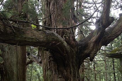 170621温泉神社の大杉⑤