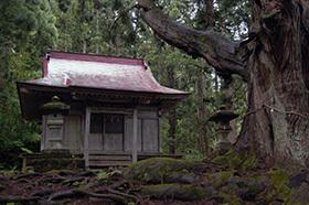 170621温泉神社の大杉