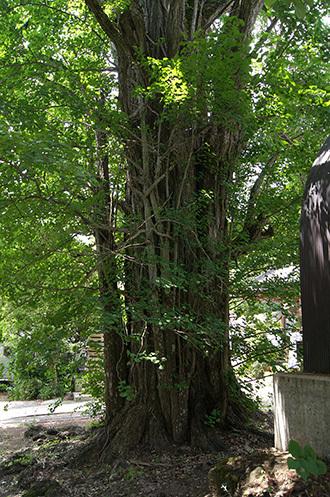 170622大正寺の大銀杏②