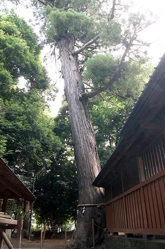 170702伊奈町氷川神社の杉①
