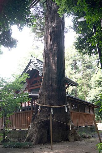 170702伊奈町氷川神社の杉②