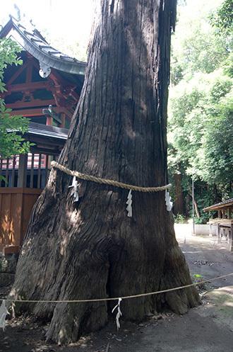 170702伊奈町氷川神社の杉③