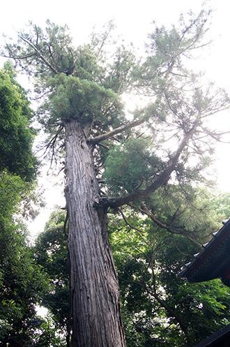 170702伊奈町氷川神社の杉④