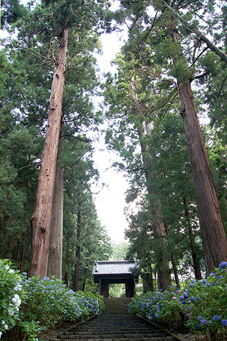 170707大中寺の呑補杉①