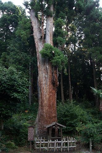 170707大中寺の呑補杉④