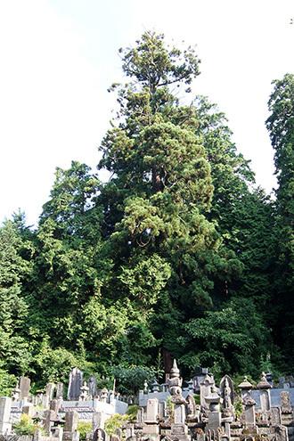 170707大中寺の呑補杉⑨