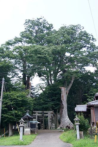 170707藤岡神社のケヤキ①