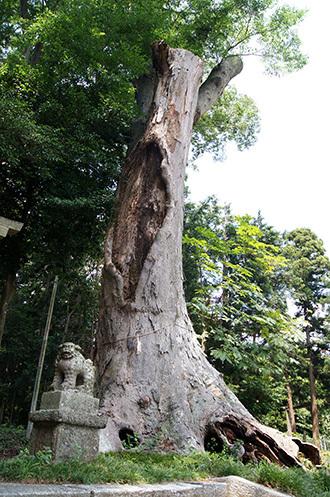 170707藤岡神社のケヤキ②