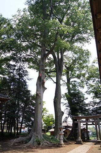 170707藤岡神社のケヤキ⑥
