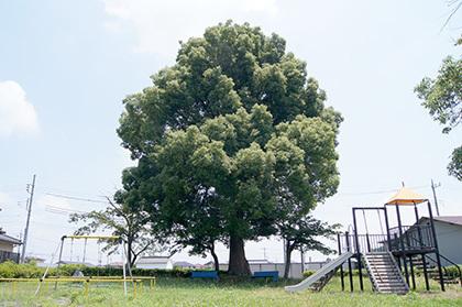 170707藤岡公園クスノキ①