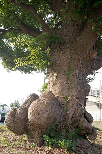 170806諏訪神社のこぶ欅①