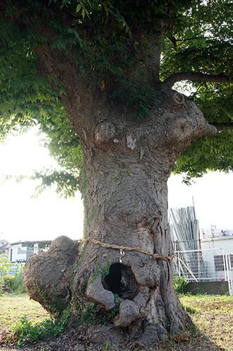 170806諏訪神社のこぶ欅②