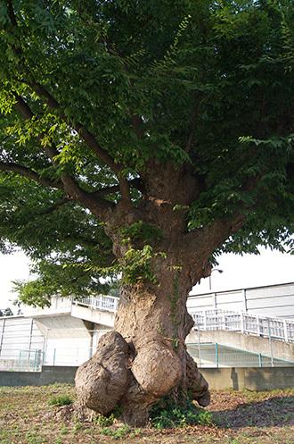 170806諏訪神社のこぶ欅③