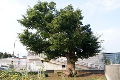 170806諏訪神社のこぶ欅④