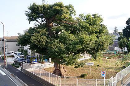 170806諏訪神社のこぶ欅⑤jpg