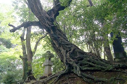 170820成田山公園アカガシ⑥
