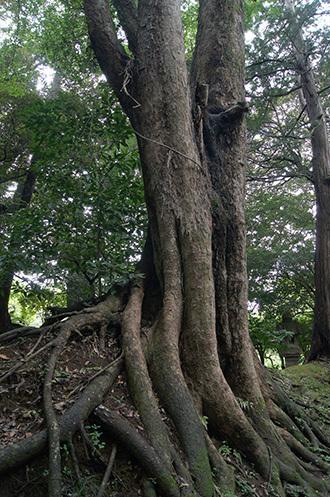 170820成田山公園ケヤキ③