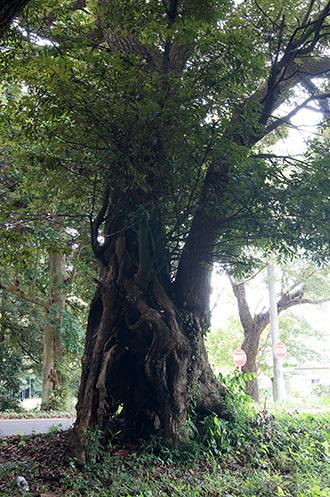 170820富里市駒形神社の椎⑧