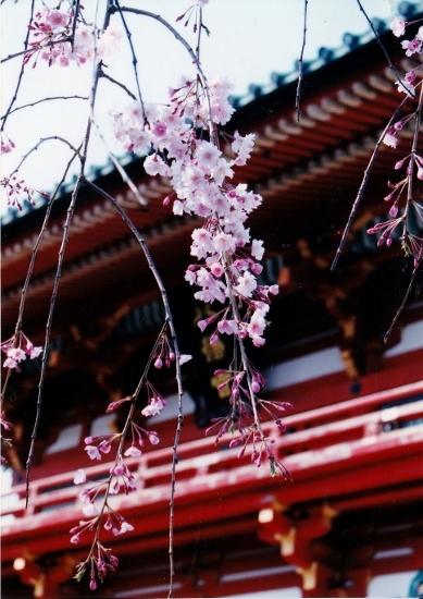③鶴岡八幡桜