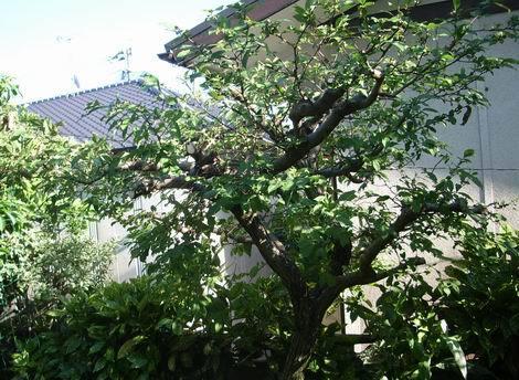 グミの木剪定(470x344) 20170605
