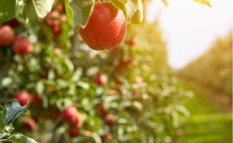 奇跡のリンゴ(470x290)