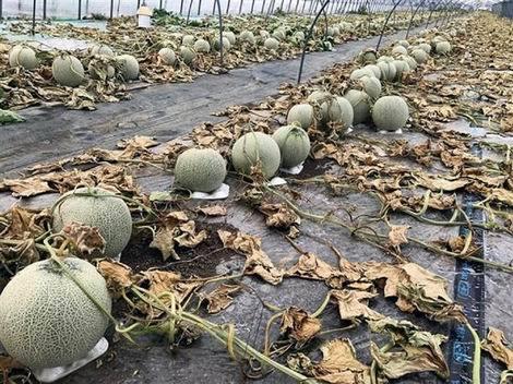 富良野のメロン農家6600個に除草剤(470x352)