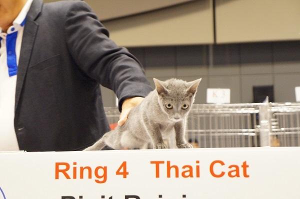 thailand cat show 5
