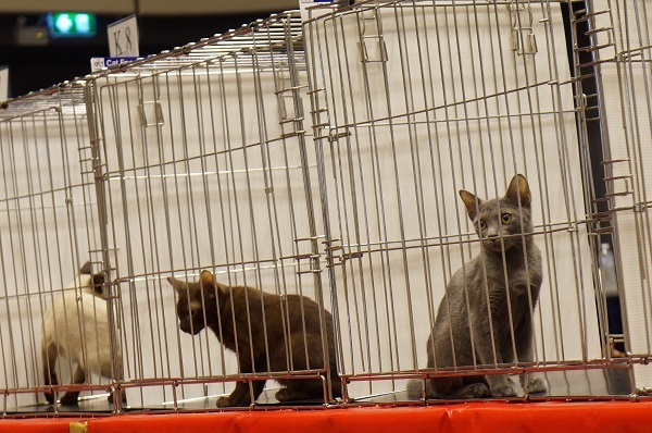 thailand cat show 4