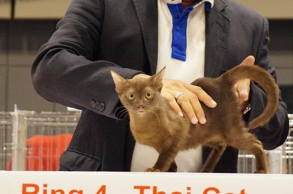 cat show koncha
