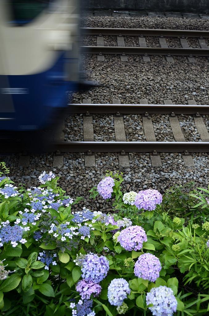 115 紫陽花