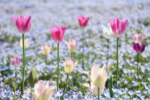 20170423_tulip.jpg
