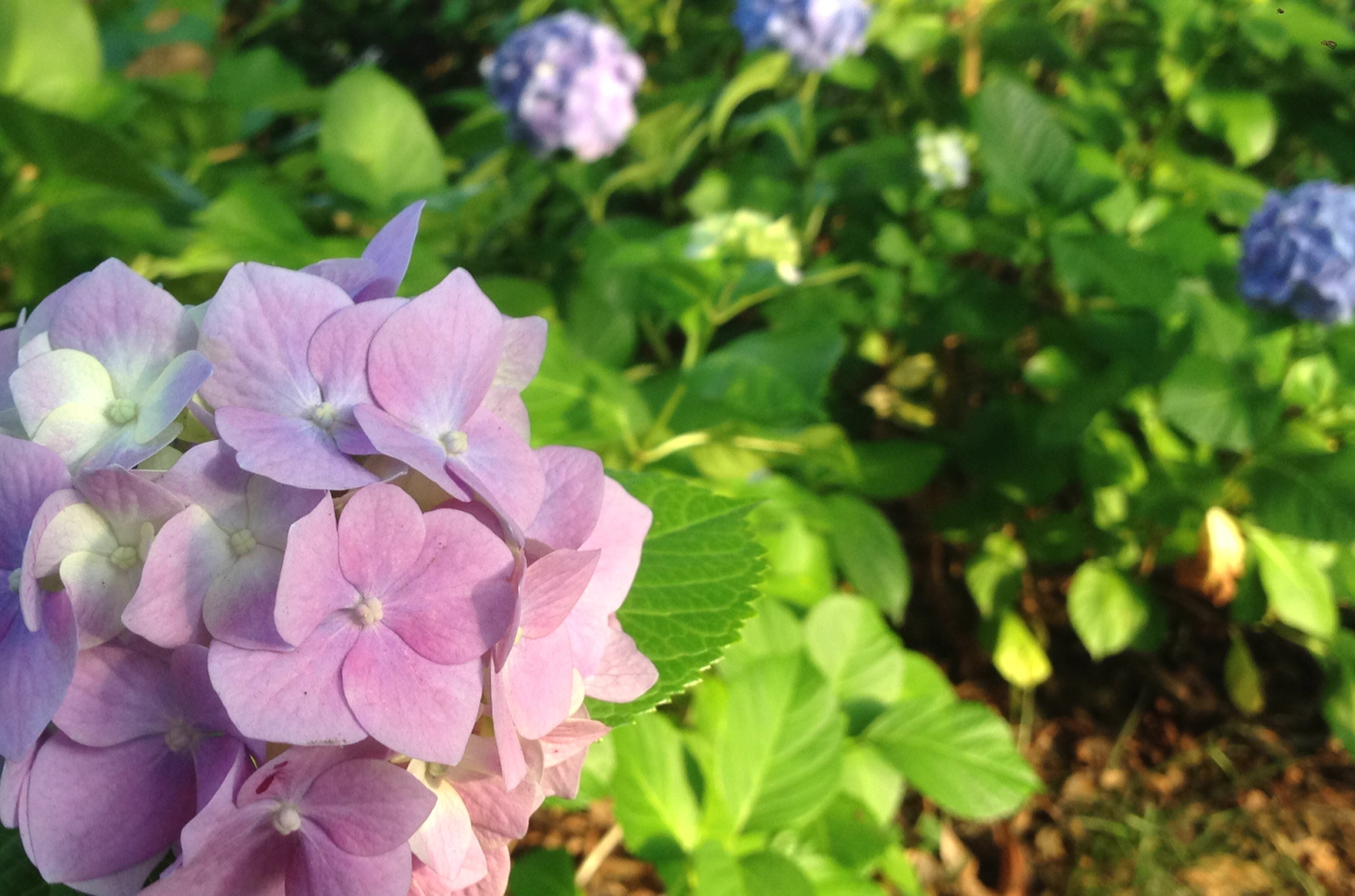 哲学堂公園 紫陽花