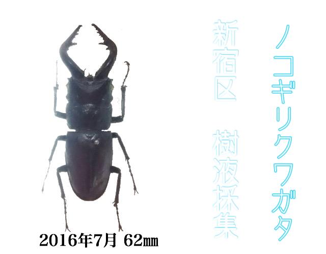 新宿 ノコギリクワガタ62ミリ