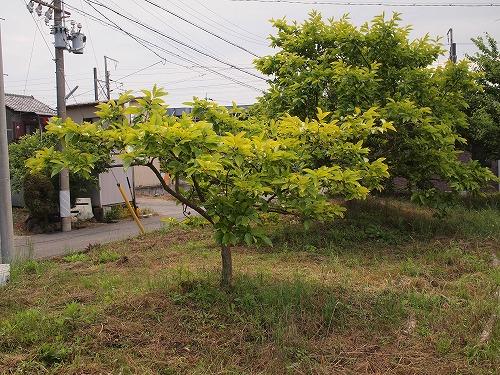 500柿の木2