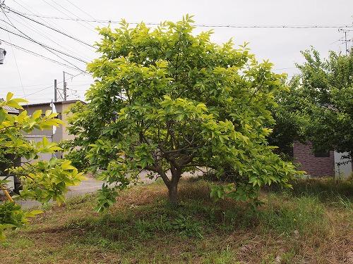500柿の木1
